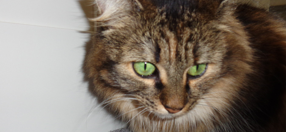 A long-haired tabby with striking green eyes named Freja.