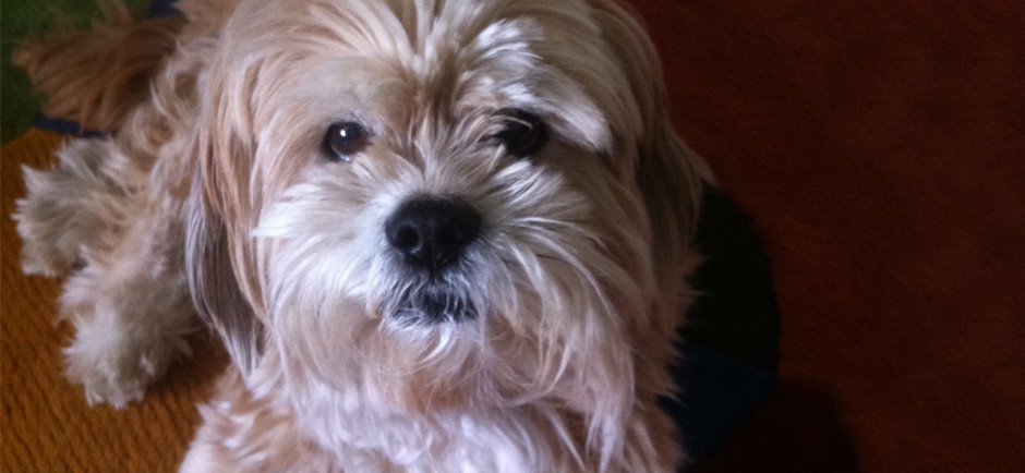 A scruffy white and ginger lhasa apso named Luke.