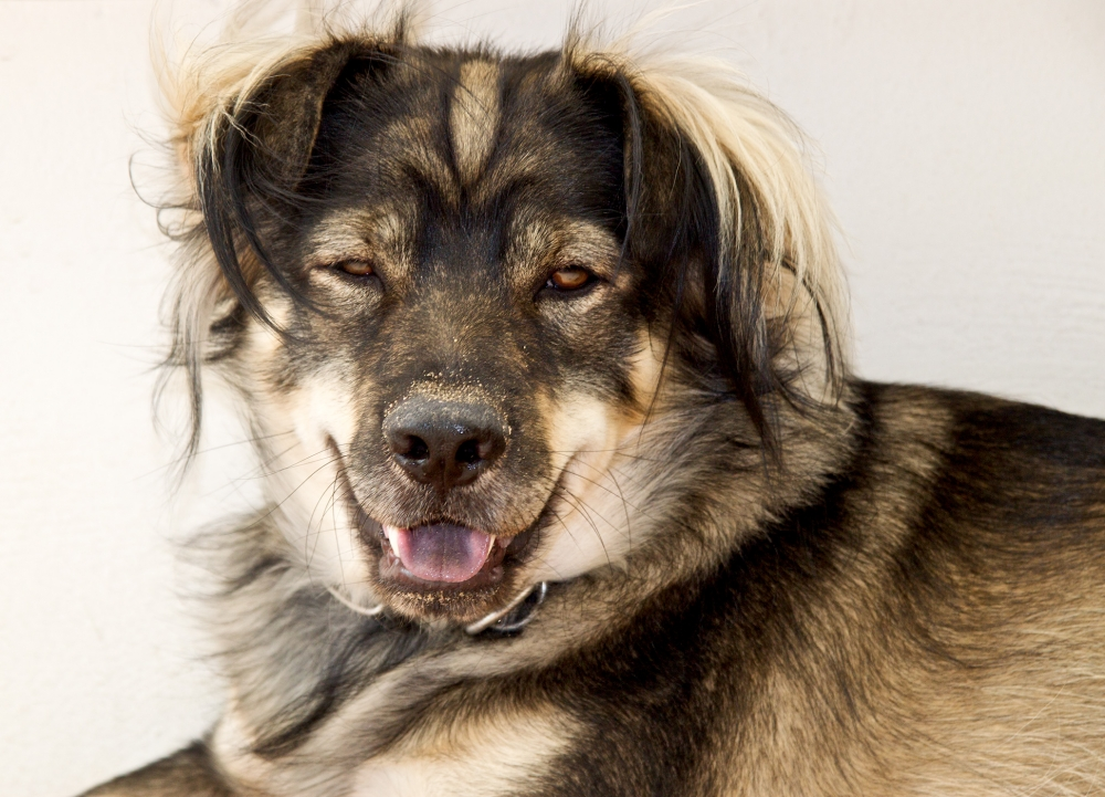 A gold and black Australian shepherd panting while he rests.