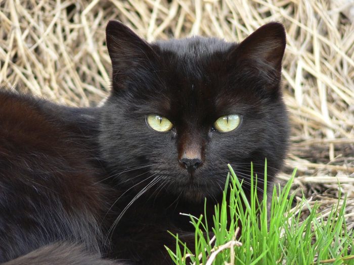 A black cat lying in a patch of grass looking into the camera with his big, green eyes.