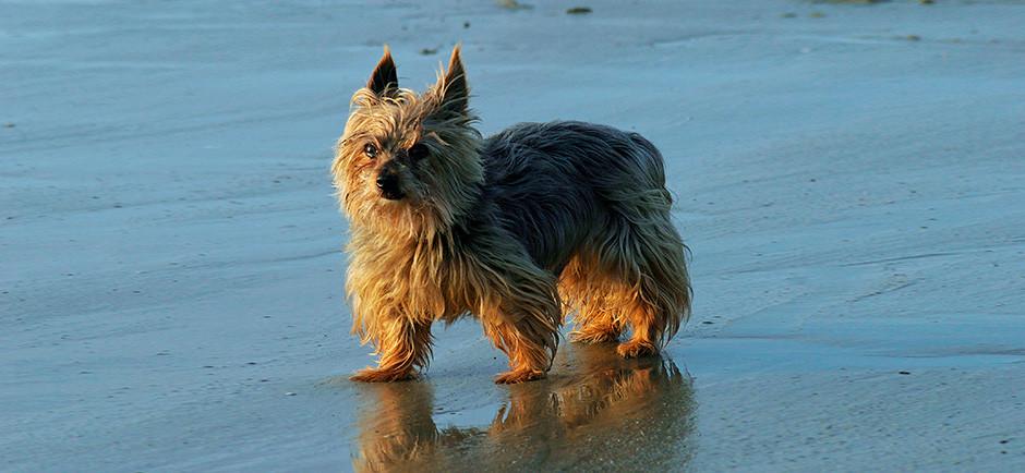 A Yorkshire terrier walking along a beach.