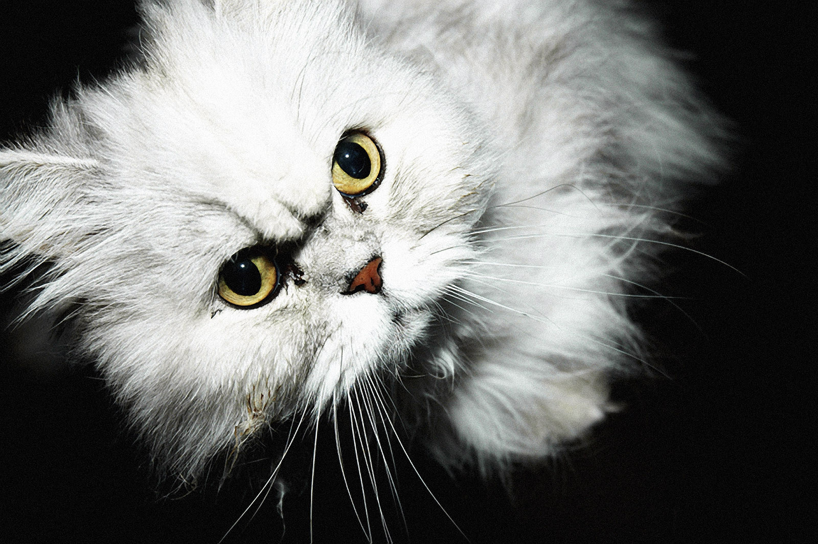 A white Persian cat with piercing yellow-green eyes.