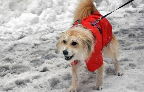 A dog walking through the snow.