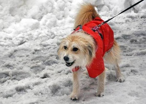 A dog walking through the snow.