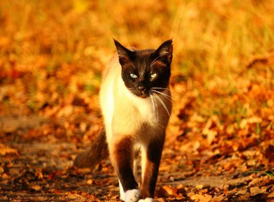 A Siamese cat in autumn leaves.