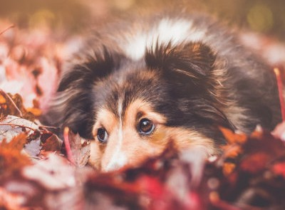 A collie playing in a pile of leaves.