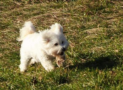 A cute white dog, running in a field. Photograph by Dubravko Butković.
