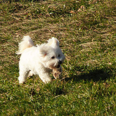 A cute white dog, running in a field. Photograph by Dubravko Butković.