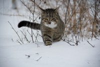 A cat walking through the snow.