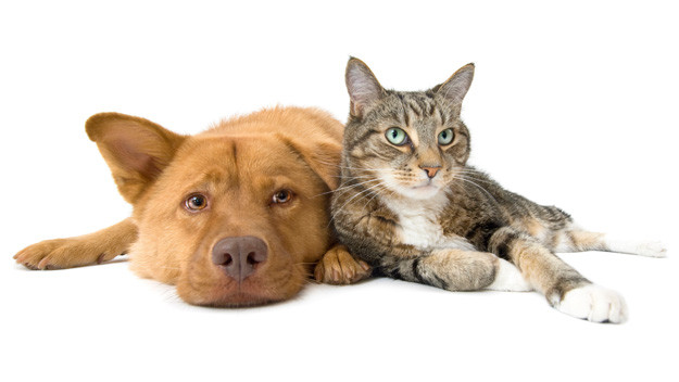 A golden-brown dog and tabby cat snuggle next to each other.