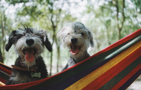 Two pups hanging out in a hammock.