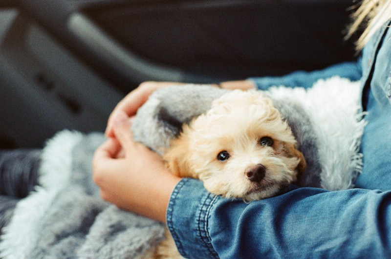 A fluffy puppy swaddled in a blanket on his owner's lap.